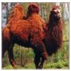 Poil de chameaux